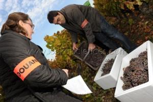 Prélèvement de vendange pour micro-vinification