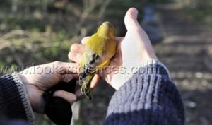 Baguage des oiseaux au Museum d'histoire naturelle